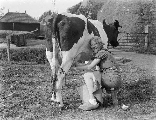 milking_a_cow2